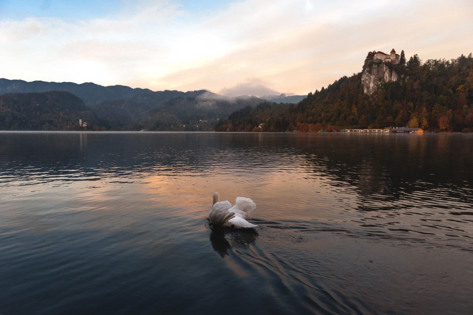 Lake Bled swan